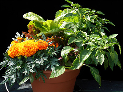 This successful mixed container combined 'Sweet Heat' pepper, 'Taishan Orange' marigold, 'Summer Picnic' lettuce.