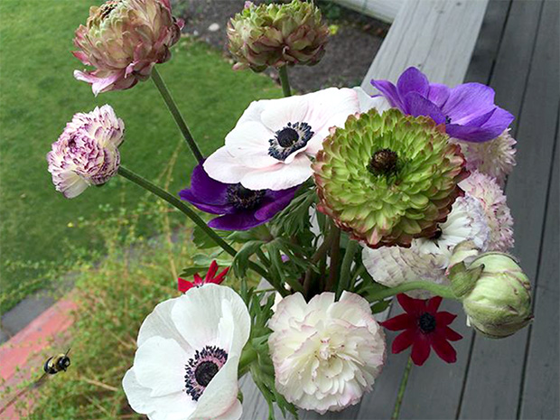 Ranunculus and anemones from the trials.