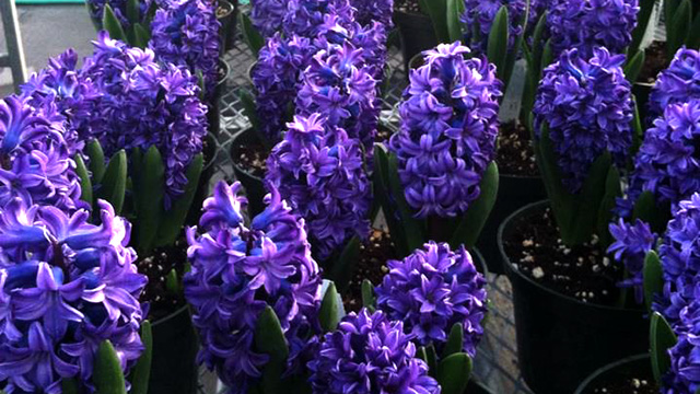 Can you smell the hyacinths?