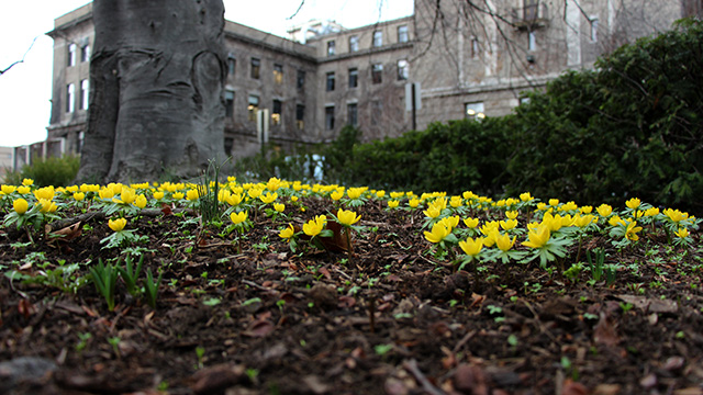 Winter aconites in Minns Garden