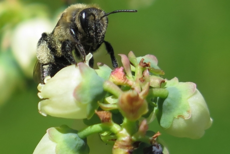 A digger bee forages on blueberry flowers. Previous research has shown that bees pass parasites and pathogens to each other when they forage on wildflowers, but the details of exactly how disease is spread through diverse communities of bees is unclear. (Photo: Scott McArt)