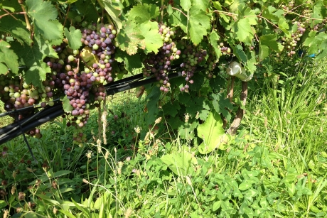 Undervine cover crop in vineyard.