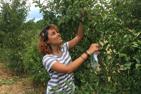 Sofia González Martinez of the University of Puerto Rico researched the viability of using progeny of a native apple species crossed with a Cornell breeding selection for use in hard cider production for a project with Professor Susan Brown. (Photo: Susan Brown)