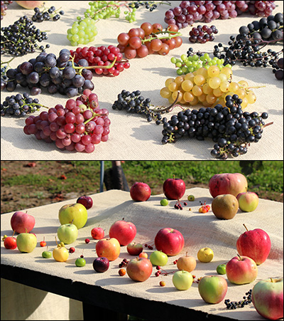 apple and grape cultivars