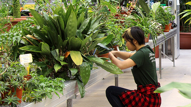Chan at work in the Liberty Hyde Bailey Conservatory