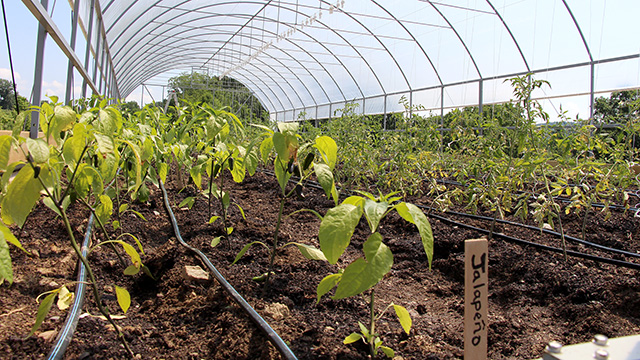 The warmer temperatures inside the tunnel will help extend harvest of heat-loving crops like peppers, tomatoes and eggplant later in the fall.