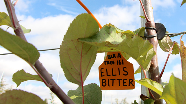 ' Ellis Bitter' a traditional English cider apple, is one of the many varieties in the trial.