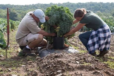 Hannah Swegarden, right, and technician Matt Wavrick transplant a kale cultivar from a research field at the Homer C. Thompson Vegetable Research Farm in Freeville, New York. (Photo: Matt Hayes/College of Agriculture and Life Sciences)