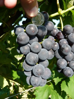 The new breed of grape is remarkable for the large size of its berries. Photo by Bruce Reisch/CALS.