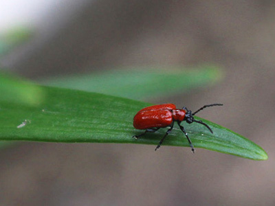 Lily leaf beetle adult on Asiatic lily. Photo by Joellen Lampman.