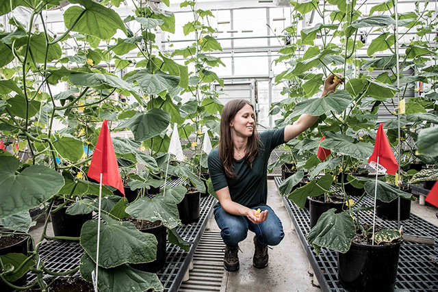 Lauren Brzozowski inspects cucumber plants in the Guterman Greenhouse Complex. Photo by Matt Hayes/College of Agriculture and Life Sciences.