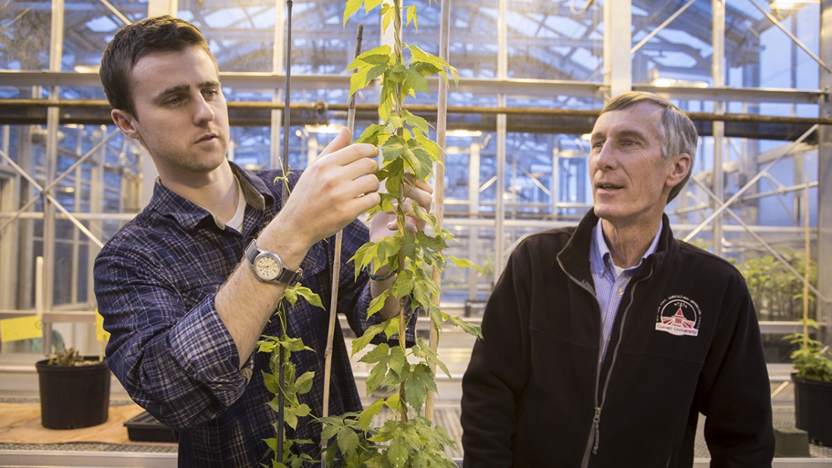 Cornell plant disease experts Bill Weldon, left, and David Gadoury inspect a hop plant at a greenhouse at the New York State Agricultural Experiment Station in Geneva, N.Y.