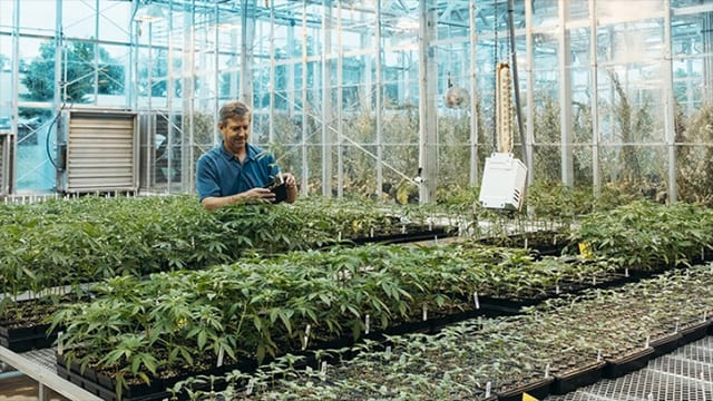 larry smart with industrial hemp in greenhouse