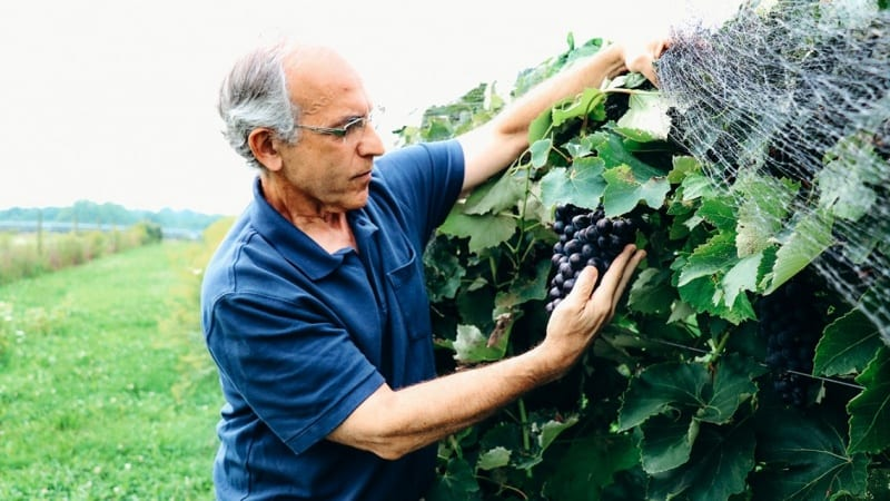 Bruce Reisch with Everest Seedless grape vines