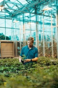 Larry Smart examining hemp plants in the greenhouse at Cornell AgriTech.