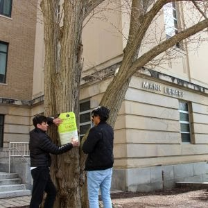 Tagging Katsura tree outside Mann Library
