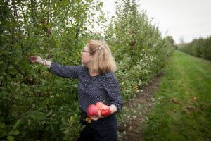 Brown picks apples in a Cornell AgriTech orchard.