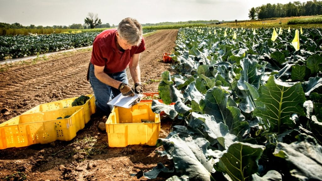Thomas Björkman, professor in the Horticulture Section, studies broccoli in a field at Cornell AgriTech.