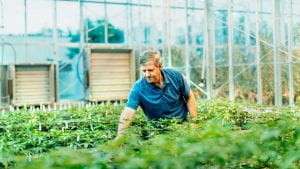 Larry Smart, professor in the Horticulture Section of the School of Integrative Plant Sciences, examines industrial hemp in a greenhouse.