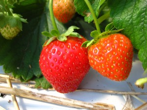 low tunnel strawberries