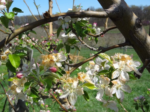 Apple blossoms killed by a spring frost in 2012, after a long stretch of warm days. Photo by Gregory M. Peck/Provided.