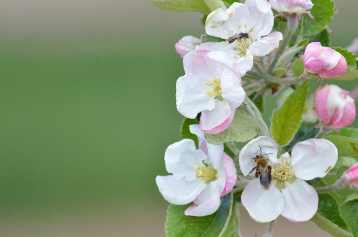 Native ground nesting bees visit apple blossoms. Photo by Heather Grab/Provided.