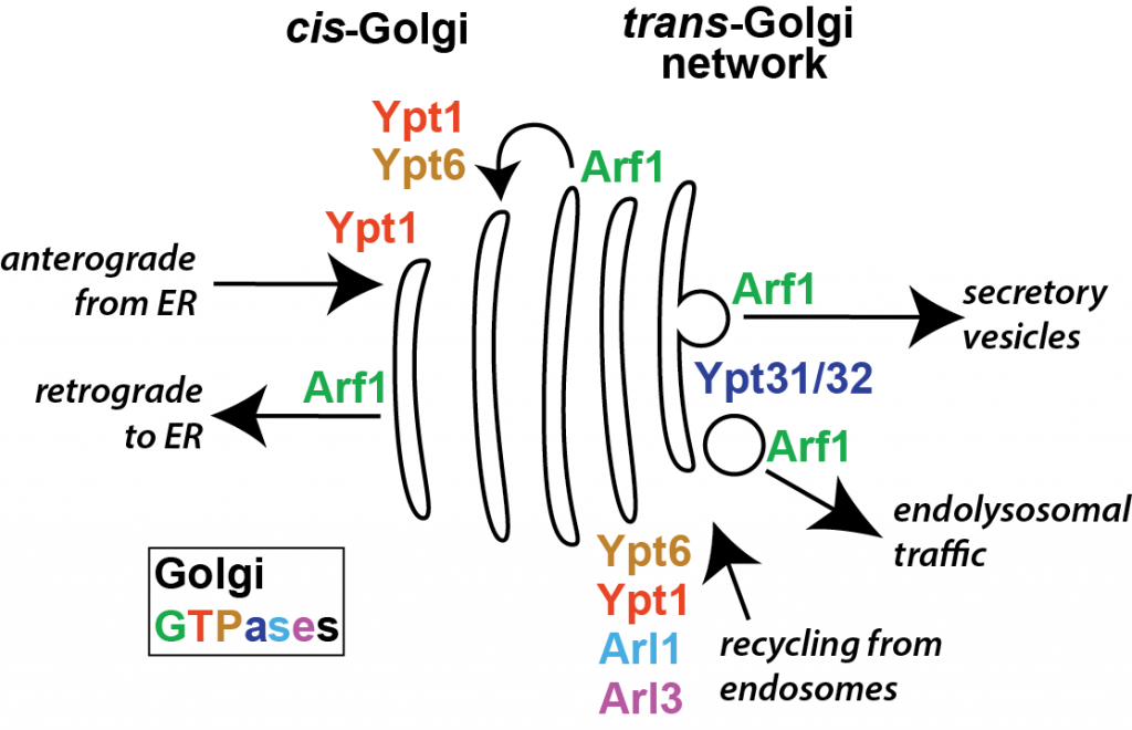 August 2015 Golgi_intro_GTPases_A