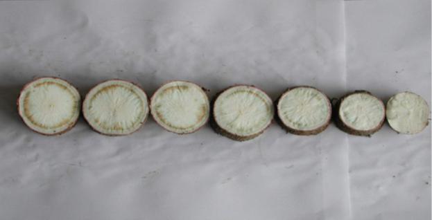 Cassava post-harvest physiological deterioration