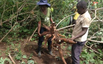 Gender responsive cassava breeding initiative