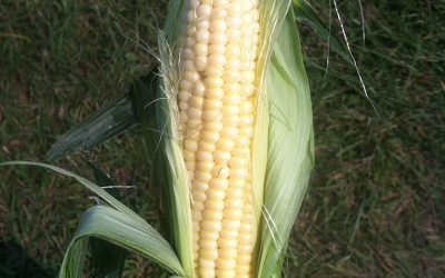 Sweet corn nutrigenomics