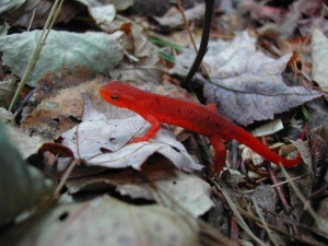 Red Eft at the Arnot Forest