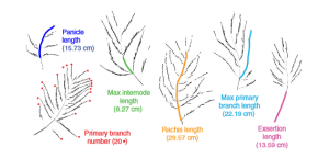 Panicle phenotyping in O. sativa. Photographs from different accessions with extreme panicle phenotypes, depicted in relative scale, highlight the range of phenotypic diversity wi thin the panel. See article