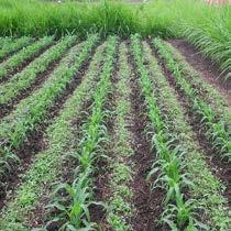 2016 AVF maize