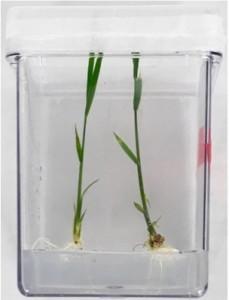transgenic-rice