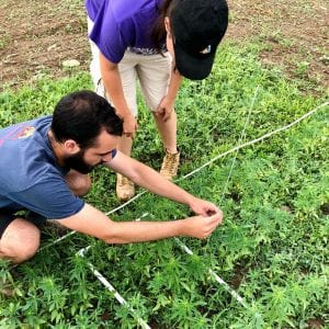 hemp researchers performing height and stand count procedures