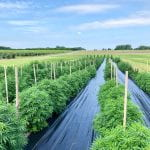 Past Event: 2019 Cornell Hemp Field Day: Geneva NY