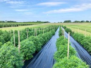 Cornell AgriTech's CBD hemp trial