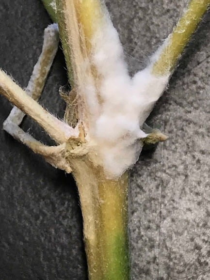 White mold on a hemp stem