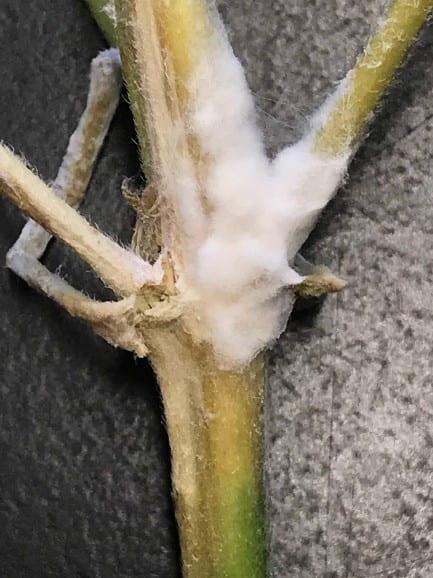 White mold on a hemp stem