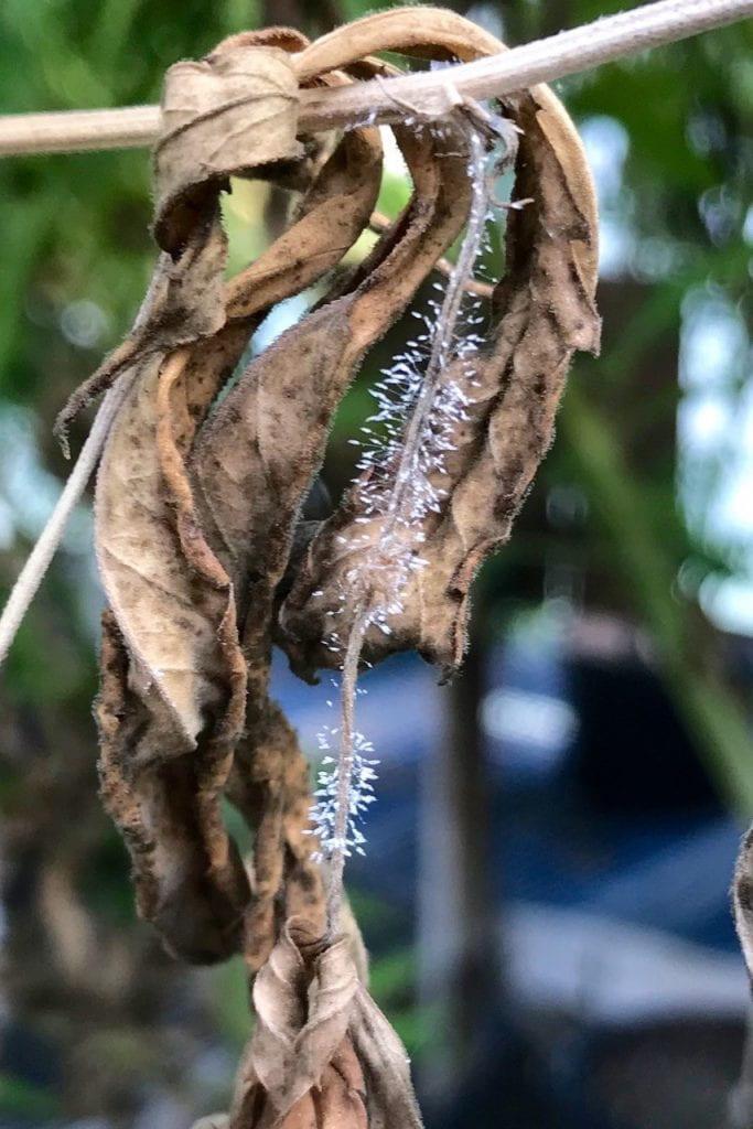 Botrytis gray mold on hemp