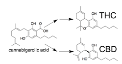 Chemical diagram showing how CBD and THC are derived from cannabigerolic acid