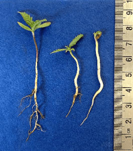 Seedling abnormality due to soil crusting