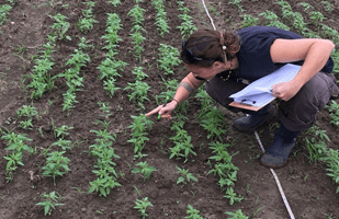 Photo showing initial stand establishment of hemp seedlings in our variety trials