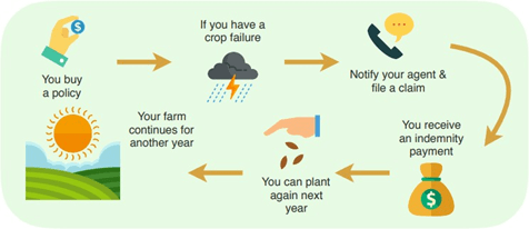 Infographic showing how crop insurance works.