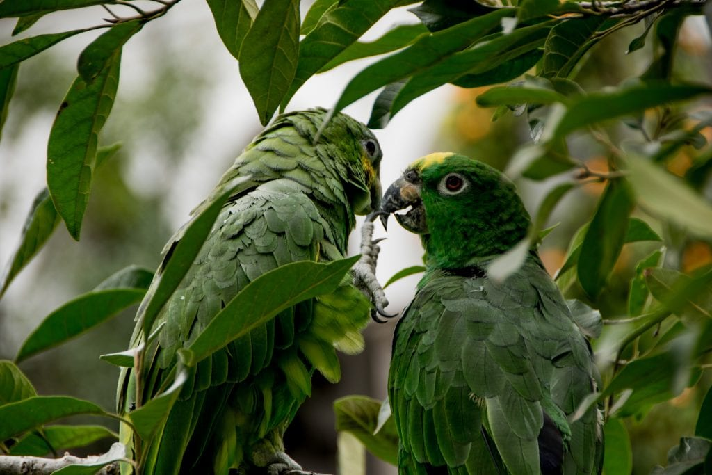 Photograph, two green parrots together surrounded by green leaves.