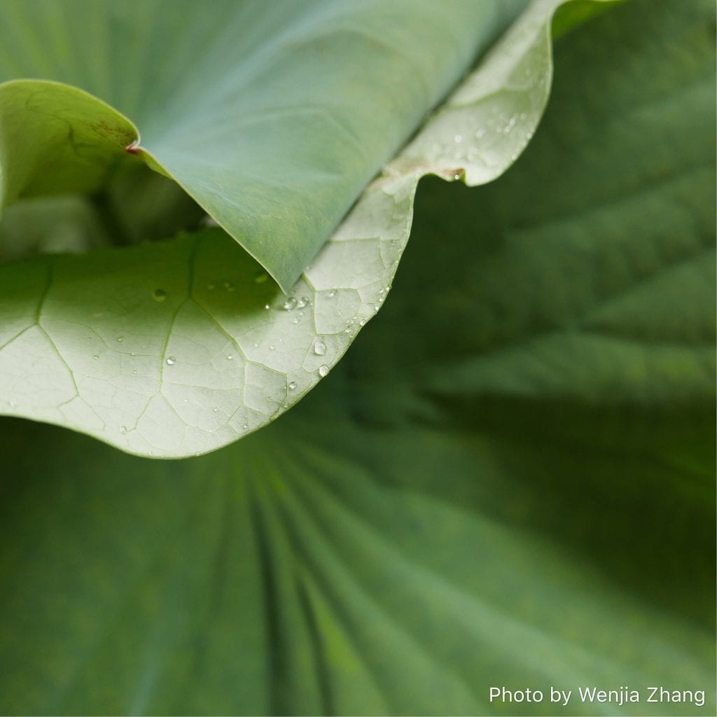Photo of a leaf with water droplets on it, by Wenjia Zhang, submitted for the CIHF photo competition
