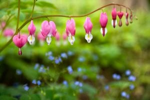 bleeding heart small