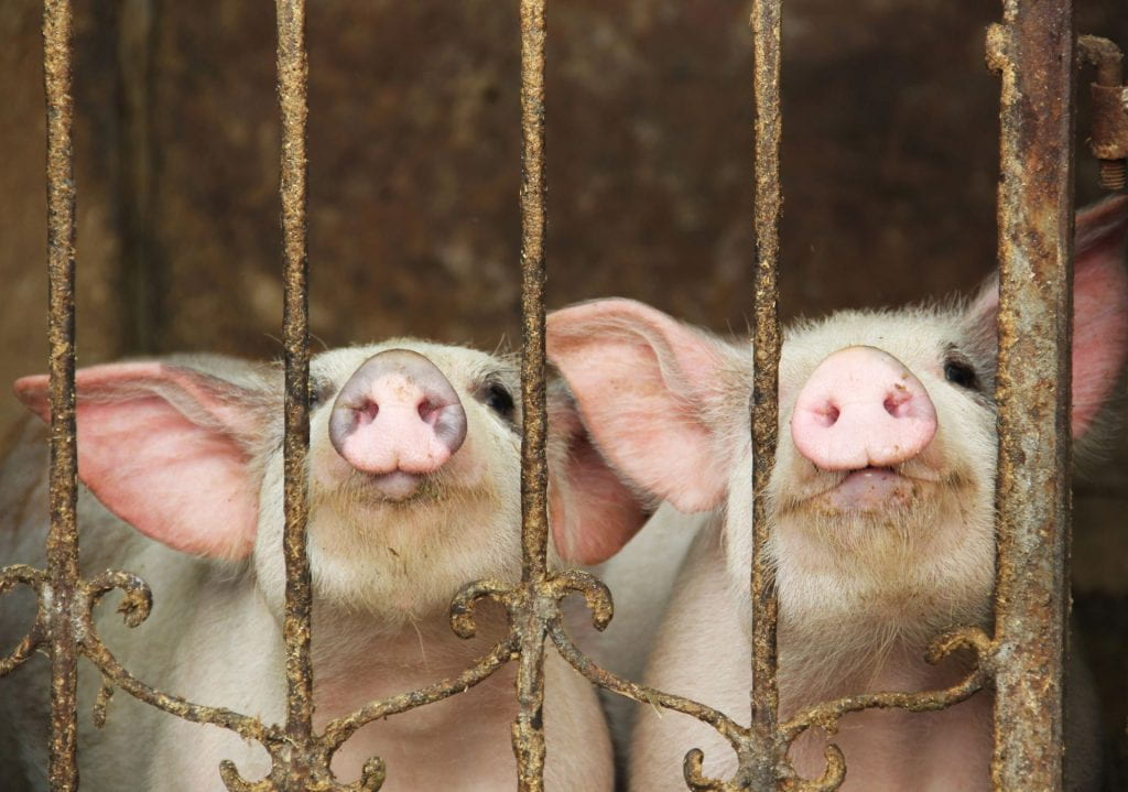 Photograph, two young piglets facing the camera through a small metal fence.