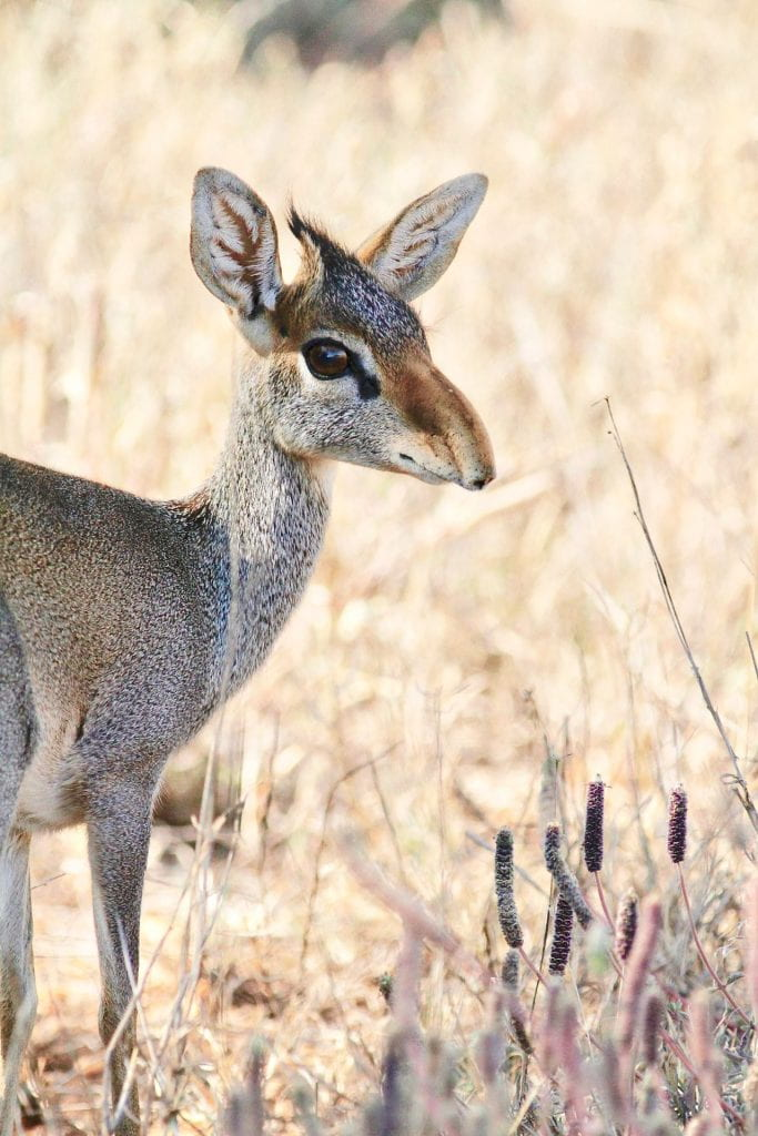 Photograph, a young deer or antelope like animal staring at the camera from the side.