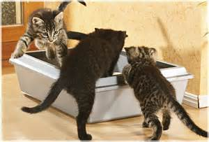 kittens playing in litter box